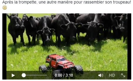 Vidéo de vaches curieuses