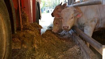 Ensilage de sorgho engraissement jeunes bovins