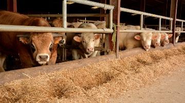 Engraissement de jeunes bovins