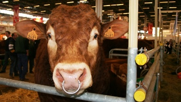 Les effectifs de vaches stabilisés car les eleveurs attendent les nouveaux arbitrages de la Pac sur les aides couplées.