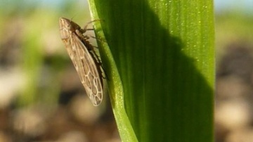 Bien souvent, la présence de cicadelles s'accompagne de celle de pucerons, le déclenchement du traitement est conseillé quand le premier seuil est franchi ou, a minima, quand le seuil pucerons est atteint.
