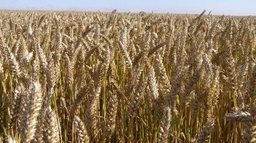 Le soja souffre d'exportations d�cevantes, ma�s et bl� se maintiennent