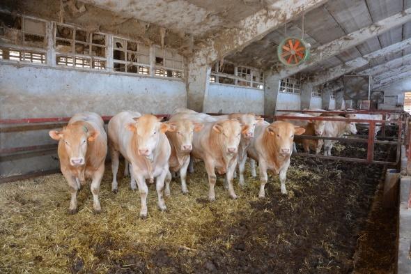 Bâtiment engraissement jeunes bovins