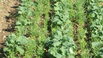 Caussade Semences inscrit trois hybrides et d�veloppe les plantes compagnes