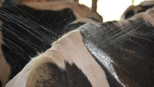 Utilisé en Israël, l'aspersion d'eau est l'un des moyens les plus efficace pour refroidir les vaches