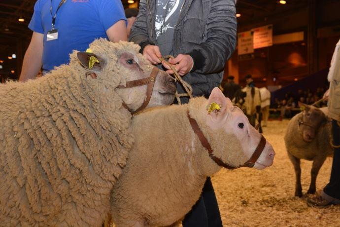 Les moutons normands: Avranchin, Cotentin et Rouge de la Hague
