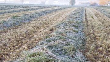 Les gelées ont-elles affecté la qualité de l'herbe récoltée?