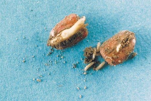 Mouche des semis au stade larvaire (asticots blancs de 6 à 8 mm de long)