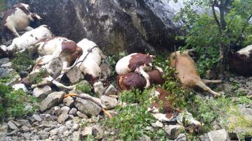 Le loup accus� dans l'attaque de 17�g�nisses dans les Hautes-Alpes
