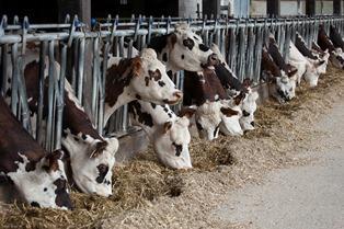 Analyser pour optimiser la ration des laiti�res