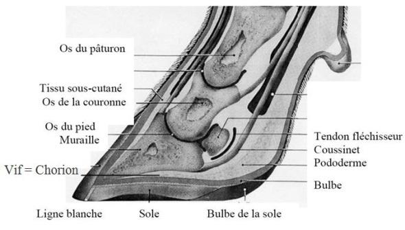 Anatomie du pied d'un bovin