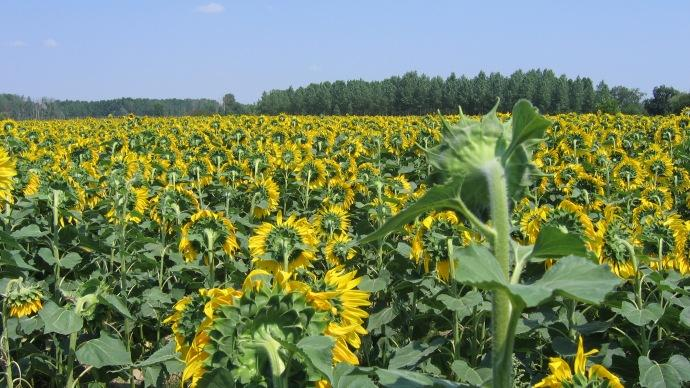 Champ de tournesols.