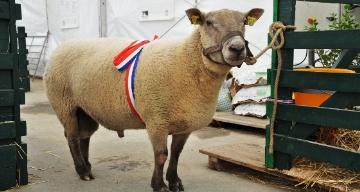 Concours ovins du salon de l'agriculture