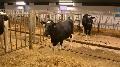 Vache transg�nique - Sheepa, la premi�re holstein g�n�tiquement modifi�e pour faire du lait de brebis
