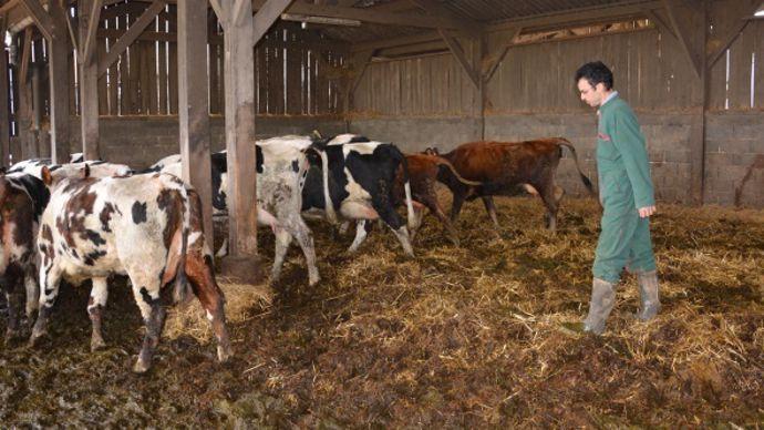 Aire paillée vache laitière