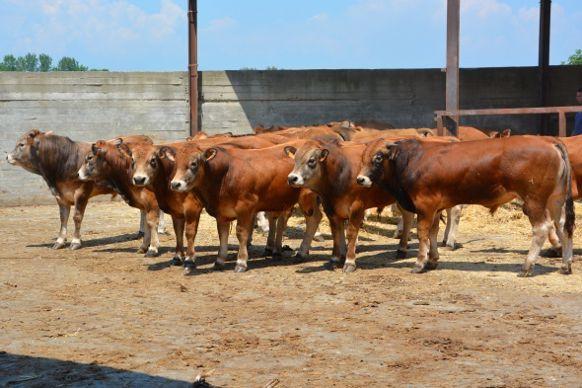 Jeunes bovins Parthenais