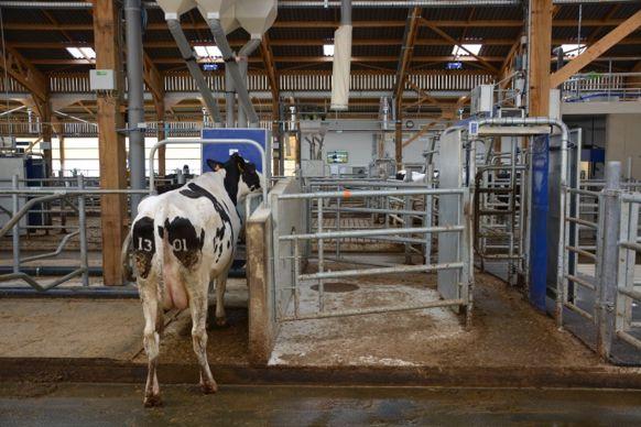La conduite guidée force les vaches à passer par la porte de trie qui si besoin les dirige versl'aire d'attente du robot.