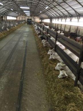 bâtiment chèvree alimentation mélangeuse
