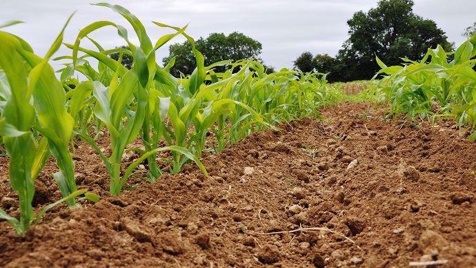 Binage du maïs