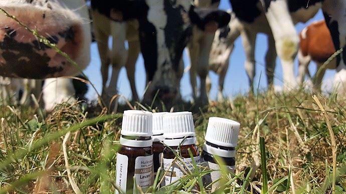 Vous utilisez des huiles essentielles pour soigner votre troupeau? Attention: considérées comme des médicaments, leur utilisation est réglementée!
