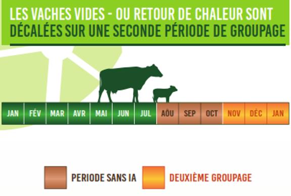 Les vaches vides ou qui reviennent en chaleur font partie d'un second groupe.