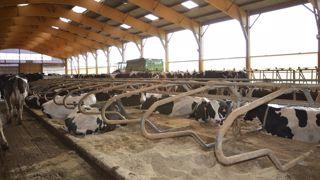 Stabulation vaches laitières avec logettes en sable