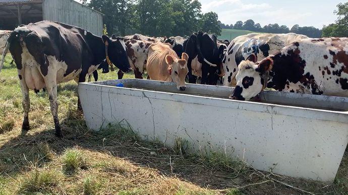 Vaches laitières à l'abreuvoir