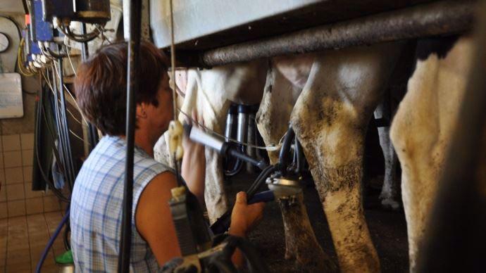 Elimination des premiers jets, lavage, essuyage et branchement par groupes de trois vaches, semble être une des méthodes les plus efficaces pour un seul trayeur.