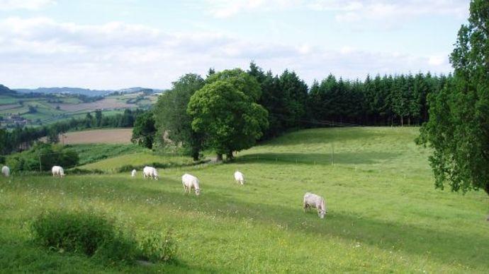 Vaches charolaises dans une prairie