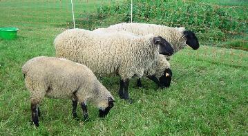 L'aide ovine variera de 18 à 29 ¤ par animal éligible