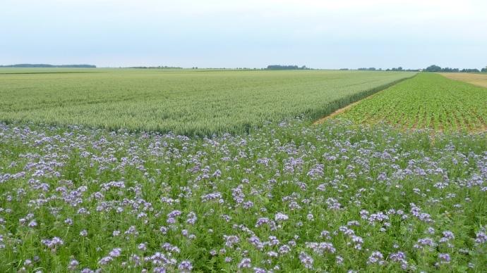 Espèces mellifères implantées en bordure de parcelle cultivée.