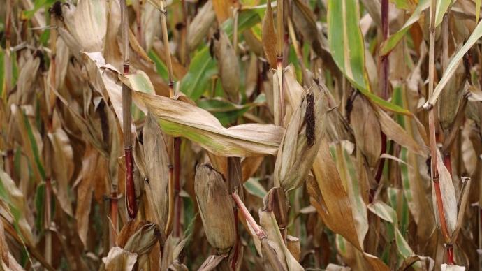 Maïs grain.