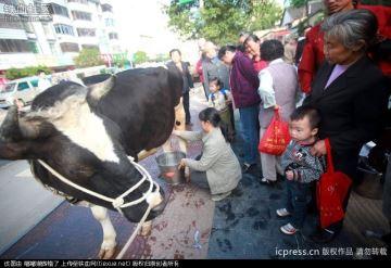 Des éleveurs vendent du lait en direct du pis!