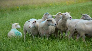Arterris cherche de nouveaux producteurs d'agneaux