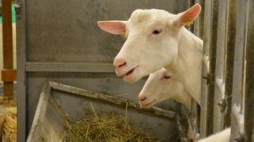 Les marges brutes des élevages dechèvres dépendent peu du niveau de concentrés