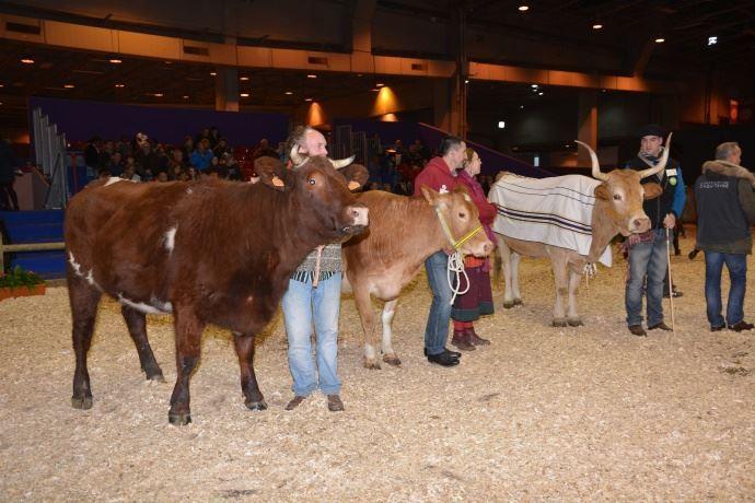 Vaches armoricaine et Froment du Léon.