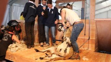 En attendant les JO, la France va accueillir le mondial des tondeurs de moutons