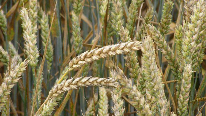 Culture de blé