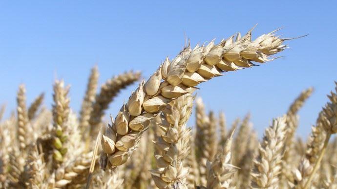 Focus sur les blés