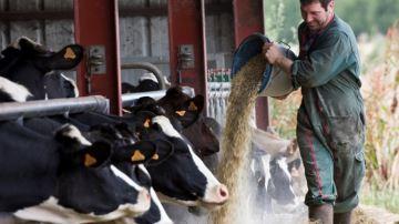 70,4% des éleveurssèment des céréales pour l'autoconsommation de leurs bovins
