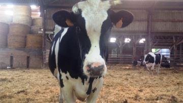 La volonté d'un éleveur face à l'épidémie qui touche ses vaches