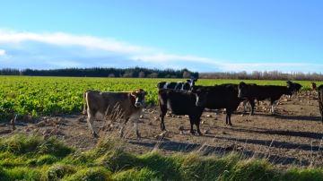 Les vaches passent l'hiver dans les betteraves fourragères