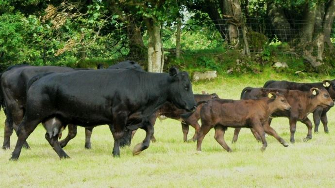 Au Canada, produire de la viande bovine sans hormone reste un défi majeur.