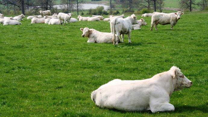 Une trentaine d'animaux charolais participeront à l'exposition vente de la foire de Montmirail (51)