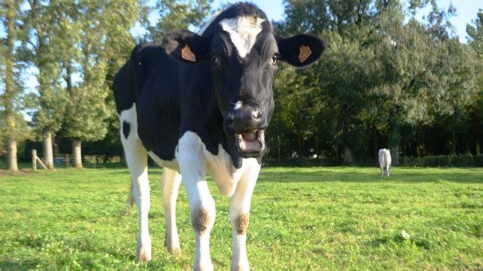En Australie, une étude en cours sur l'interprétation des meuglements permettrait d'améliorer la détection du comportement des vaches, dont les chaleurs