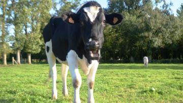 Communication animale: comprendre le langage des vaches