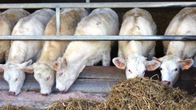 Maïs fourrage, épi ou grain humide pour les jeunes bovins: quel est le meilleur aliment d'un point de vue technico-économique?
