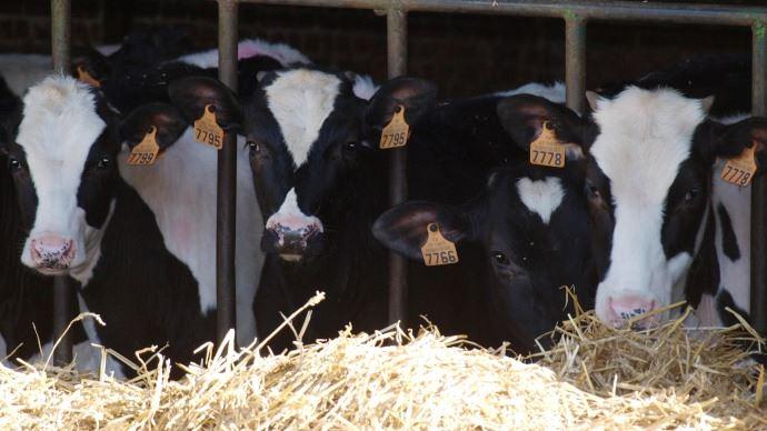 La pesée des génisses laitières permet de vérifier les GMQ et d'ajuster la ration en fonction de l'objectif d'âge au vêlage
