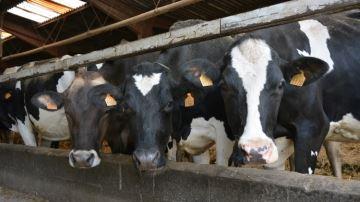 L'utilisation de graines de lin améliore la production des vaches laitières
