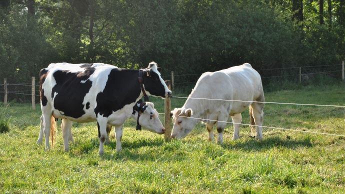Pour améliorer leur rémunération aux 1000 litres, les éleveurs doivent faire des choix stratégiques. Cela peut par exemple passer par la valorisation d'une partie des veaux en viande grâce au croisement avec de l'allaitant.